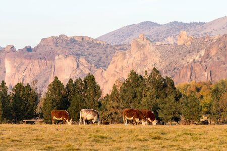 A group of cows grazing at sunset with Smith Rock State Park in the background in Terrebonne