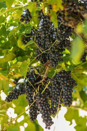 Bunches of red grapes in espalier vines in Rias Baixas, Pontevedra, Galicia, Spain.