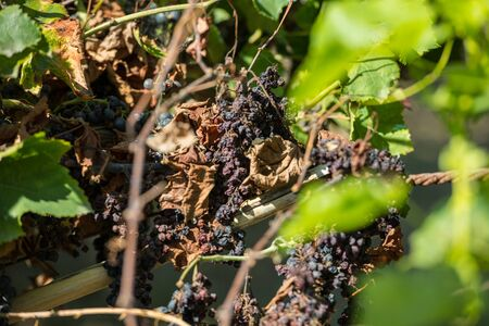 Cluster of dry red grapes in espalier vines in Rias Baixas, Pontevedra, Galicia, Spain. Stock Photo