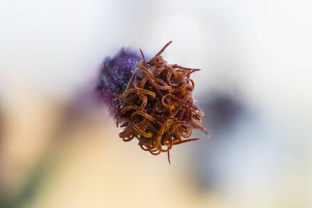 Detail of a flower of a Gynura aurantiaca, a purple plant, which gives off an unpleasant smell.
