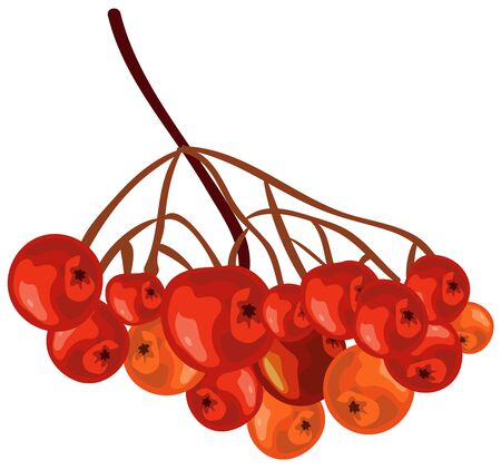 raceme: Bunch rowan. Rowanberry. Isolated illustration in vector format Illustration