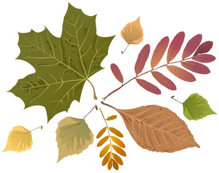 birch leaf: Set of autumn leaves. Rowan leaf, maple leaf, birch leaf. Isolated illustration