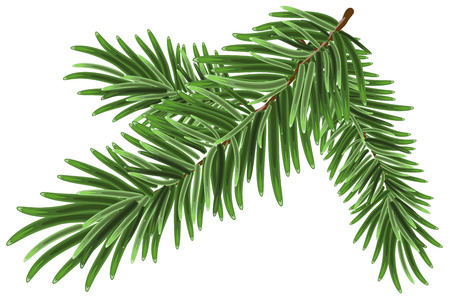 Green lush spruce branch. Fir branches. Isolated illustration in vector format Ilustração
