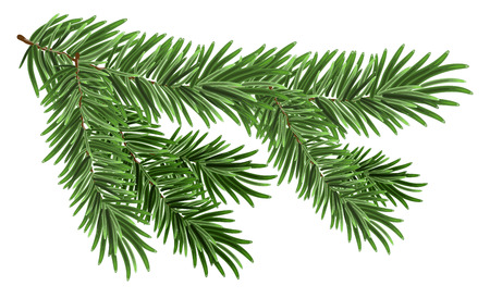branch: Green lush spruce branch. Fir branches. Isolated on white