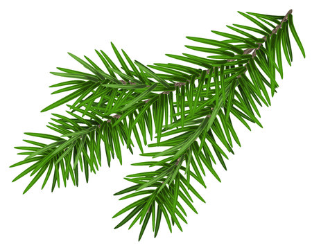 Green lush spruce branch. Fir branch. Isolated on white vector illustration