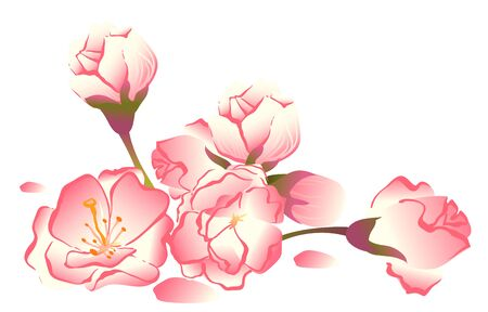 Sakura flowers. Pink cherry buds. Isolated on white illustration