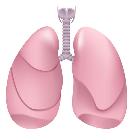 larynx: Healthy human lungs. Respiratory system. Lung, larynx and trachea of healthy person. Isolated on white illustration Illustration