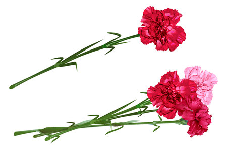 Red clove. Bouquet of carnations. Set carnation flowers. Isolated on white illustration