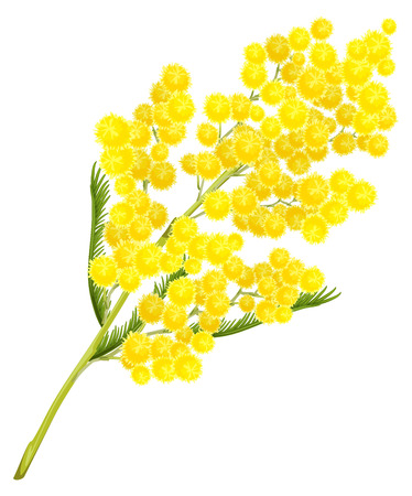 Yellow mimosa flower. Mimosa flower symbol of Womens Day. Isolated on white illustration