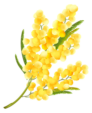 Yellow mimosa flower. Acacia flower symbol of Womens Day. Isolated on white illustration