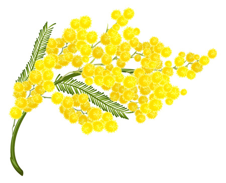mimosa: Yellow mimosa flower. Mimosa flower symbol of Womens Day. Isolated on white illustration