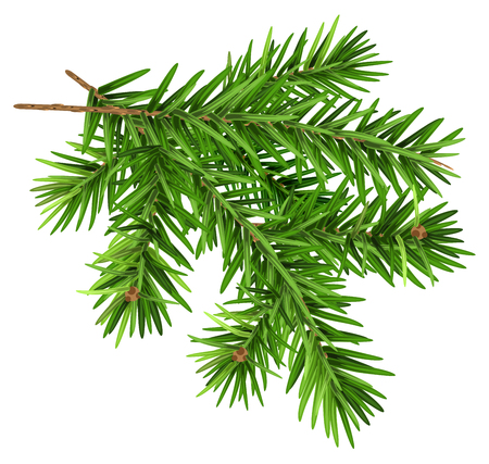 Green fluffy fir branch.