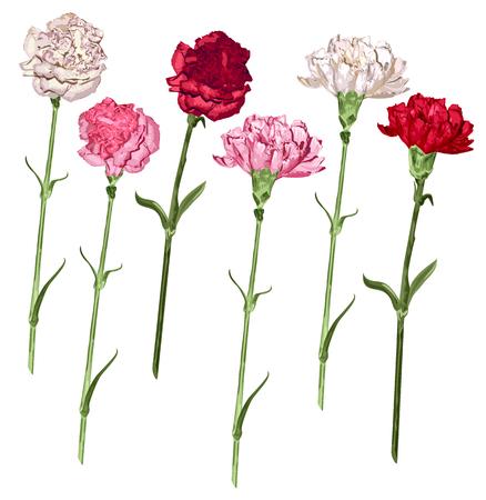 설정 카네이션 꽃. 흰색, 분홍색, 빨간색 카네이션. 화이트 벡터 일러스트 레이 션에 고립