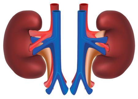 Nieren van een gezonde persoon. Interne organen. Geïsoleerd op witte vectorillustratie