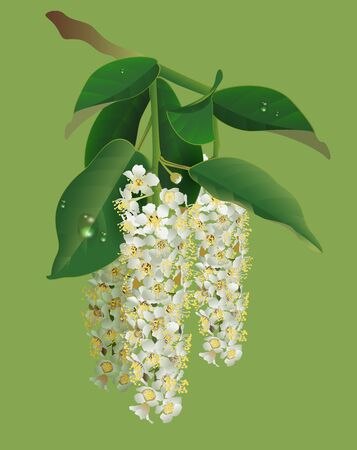 White flowers of bird-cherry tree and green leaves. Bird cherry blooms. Vector nature illustration. Illustration