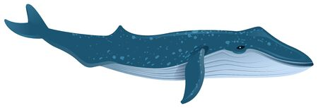 Blue whale is largest marine mammal. Isolated on white vector cartoon illustration.