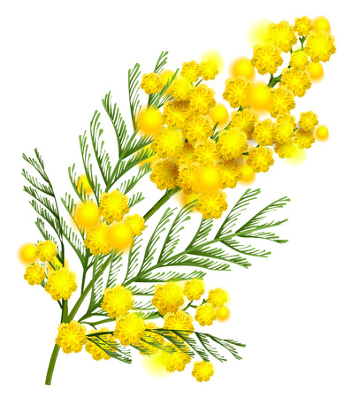 Yellow mimosa flower branch symbol of spring isolated on white background.
