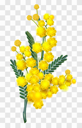 Yellow mimosa flower branch isolated on transparent background. Vector nature illustration