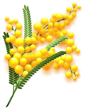 흰색 배경에 노란색 미모사 꽃 지점입니다. 봄의 꽃 아카시아 상징입니다. 벡터 자연 그림