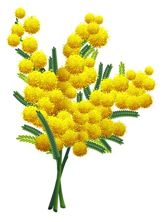 Yellow fluffy mimosa flower branch isolated on white background. Yellow acacia symbol spring. Vector nature illustration
