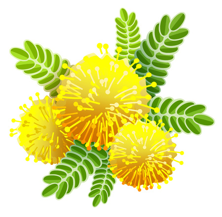 Yellow mimosa bouquet fluffy flower view from above. Isolated on white vector illustration