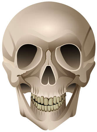 Human skull anatomical vector drawing isolated on white. Cartoon illustration Ilustração