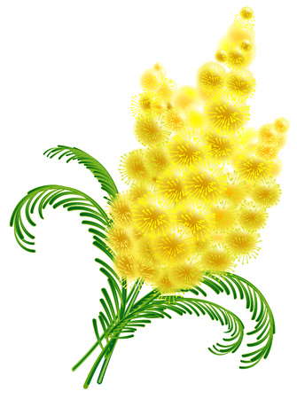 Yellow acacia blossom branch mimosa flower womens day symbol. Isolated on white vector illustration