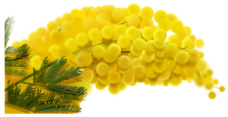 Yellow mimosa branch flowers bouquet spring holiday. Isolated on white vector illustration