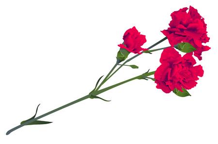 Red carnation flower bouquet bud isolated on white background. Vector illustration Ilustração