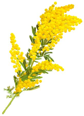 Yellow mimosa flower branch of acacia isolated on white background. Vector illustration
