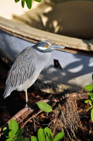 Yellow-Crowned Night-Heron with a Boat backdrop