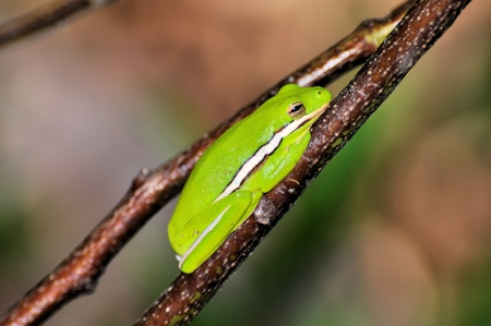 グリーン ツリーのカエルジグソー アマガエルかび 写真素材