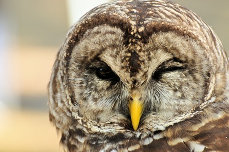 barred: This Barred Owl winks