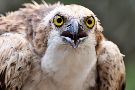 Osprey Eyes staring photo