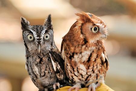 megascops: Due Owls Screech