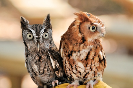 megascops: Two Screech Owls Stock Photo