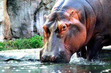 amphibius: Hippoptamus (Hippopotamus Amphibius) Stock Photo