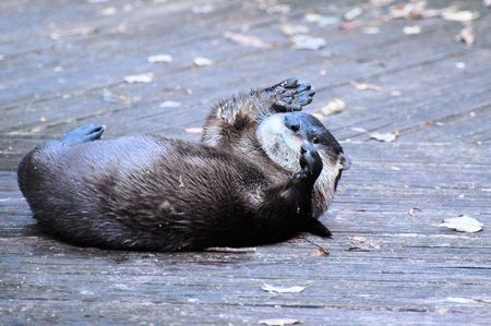canadensis: American River Otter ( Lontra,canadensis) Stock Photo