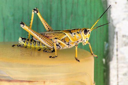 striping: Lubber Grasshopper Romalea guttata Stock Photo