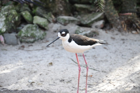 himantopus: Black-Necked Stilt Himantopus mexicanus