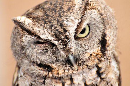 megascops: Screech Owl Wink (Megascops, asio)