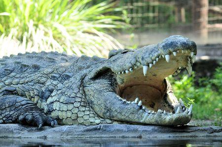 the nile: Nile Crocodile (Crocodylus niloticus)