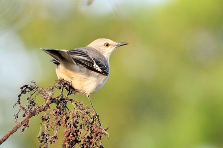 bird song: Mocking Bird on dead branch (Mimus polyglottos) Stock Photo