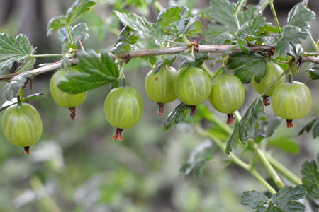 Branch bush of gooseberry with ripe berries