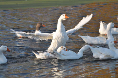 The herd of domestic geese bathe in the river