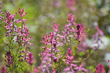 Fumaria officinalis blooms in nature in spring
