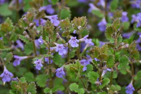 In spring, Glechoma hederacea grows and blooms in the wild