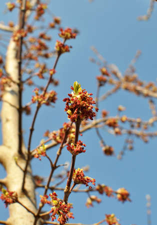 In spring, the maple (Acer negundo) blooms in nature Imagens