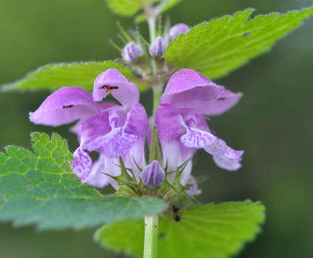 It blooms in the wild deaf nettle purple (Lamium purpureum) Stok Fotoğraf