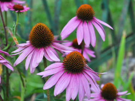 Bloom in nature perennial plant from the family of aster echinacea purpurea